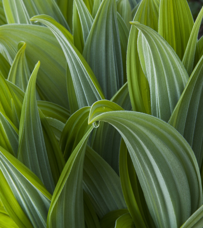 False Hellebore I
