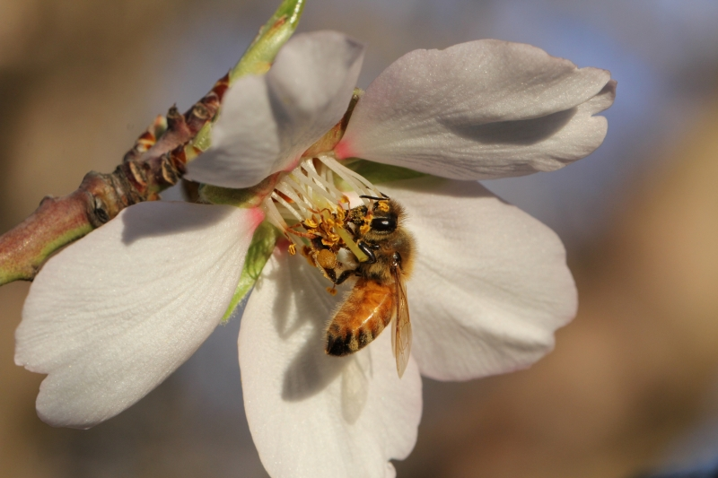 The Almond Bloom