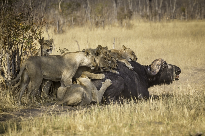 Cape Buffalo Kill