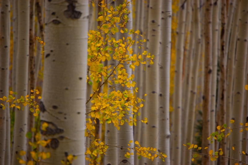 Fall Colors – Colorado (aspen)