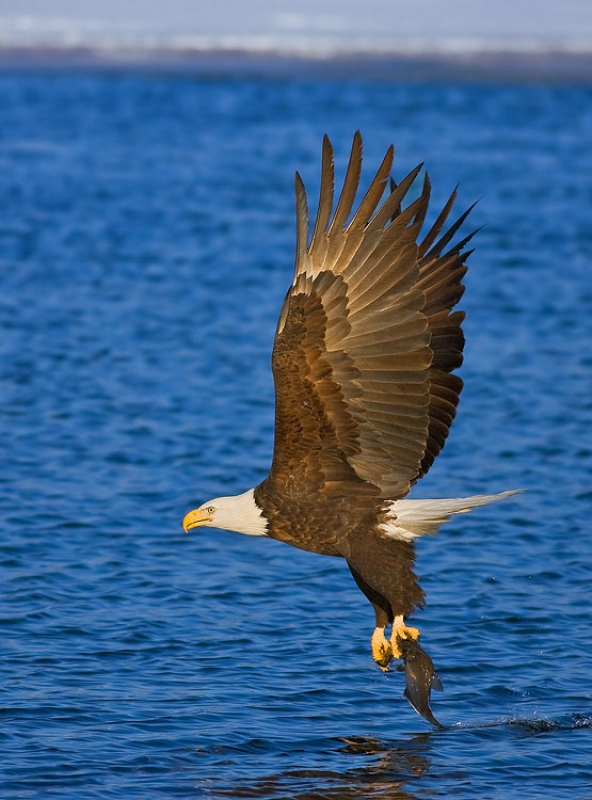 Bald Eagle With Dinner