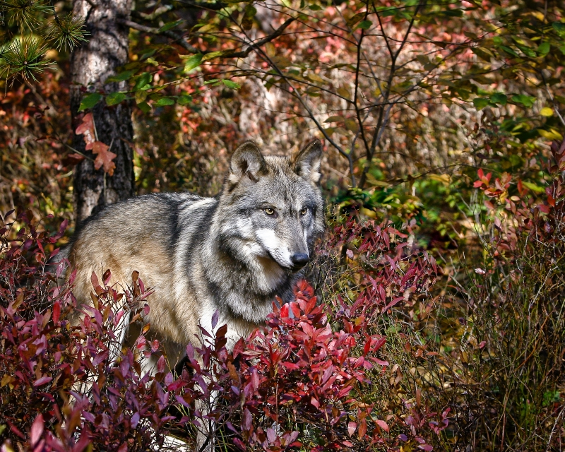 Timberwolf In Autumn