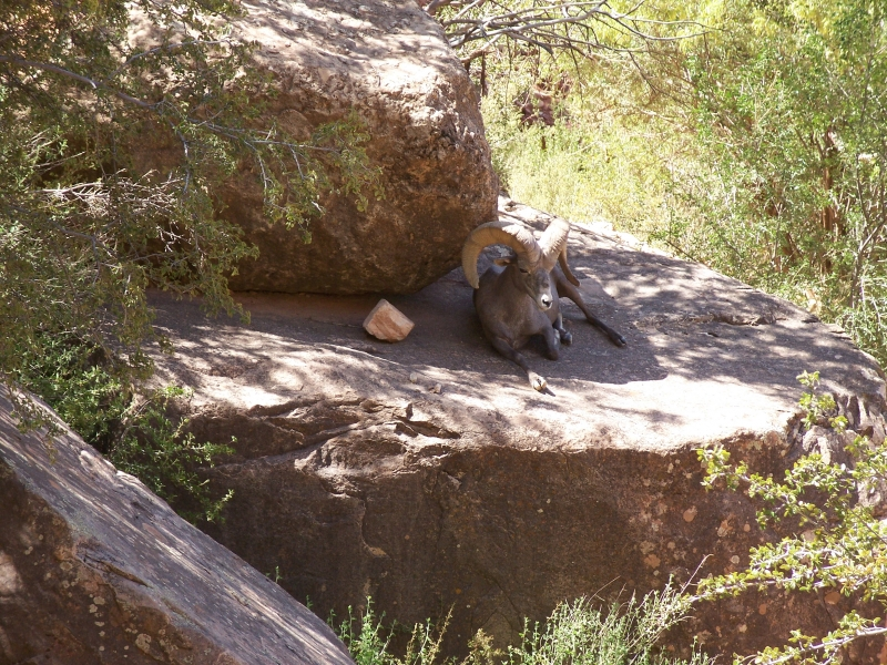 Desert Bighorn In The Shade