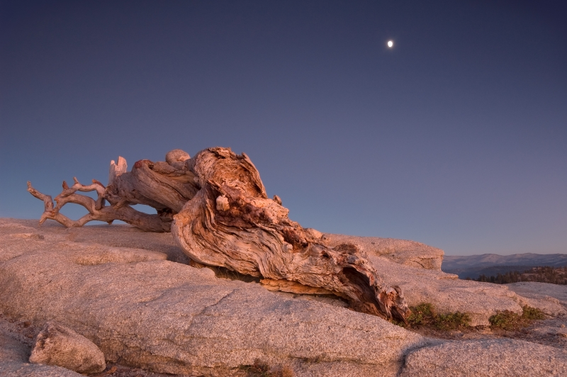 Jeffrey Pine At Dusk, Yosemite National Park