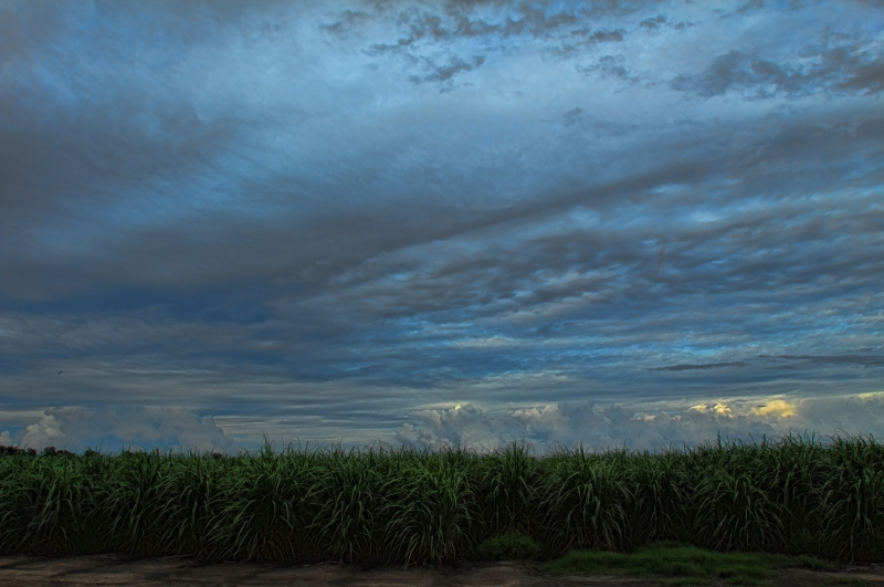 Storm Clouds Raising Cane (sugar Cane)