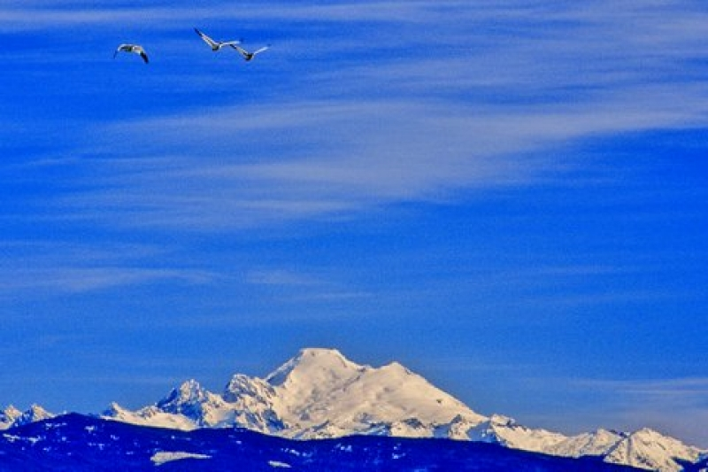 Snow Geese Over Mt. Baker, Wa. State