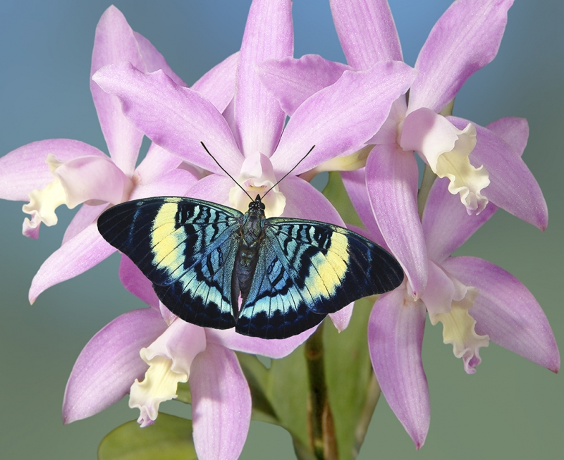 Panacea Prola Butterfly On Orchid
