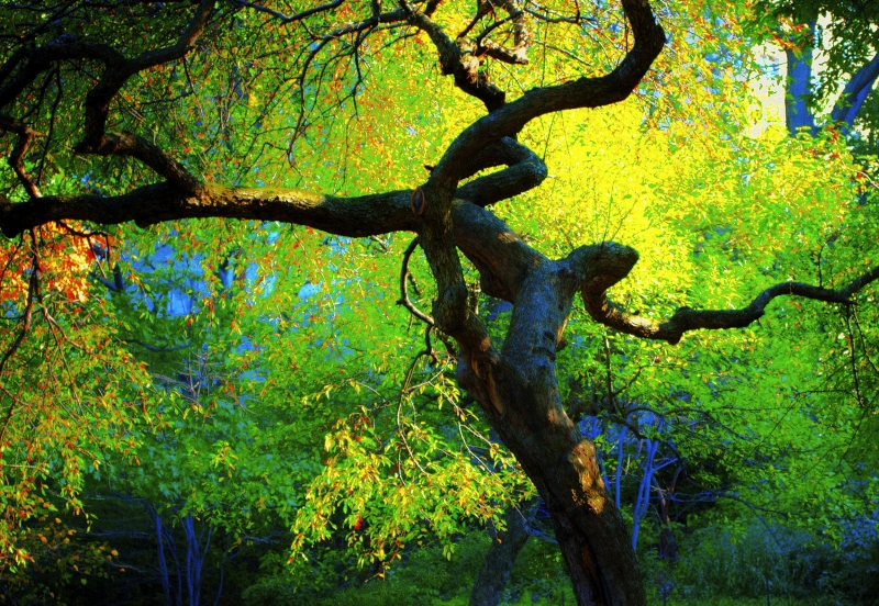 Wild Tree Of Central Park Of Nyc