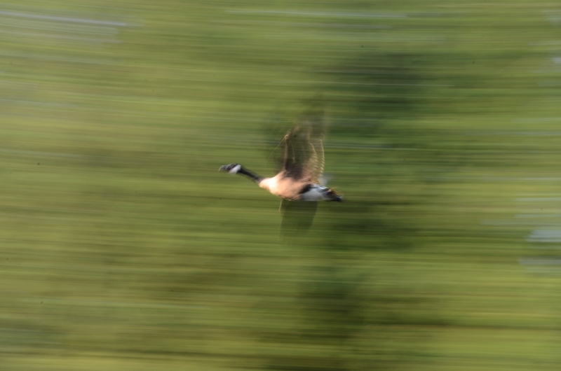 Canada Goose (abstract)
