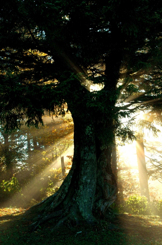 Sunrays And Tree