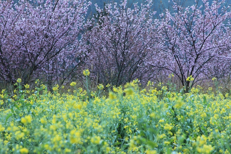 Cherry Blossoms And Rapeseed Flowers