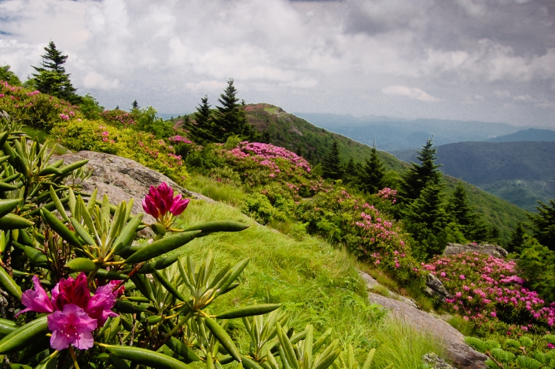 Roan Rhododendron