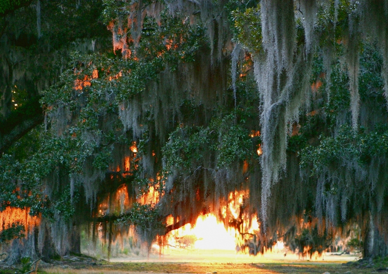 Sun Through Live Oaks