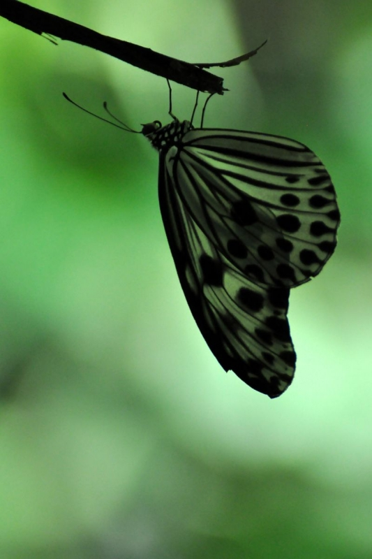Butterfly Hanging Upside Down