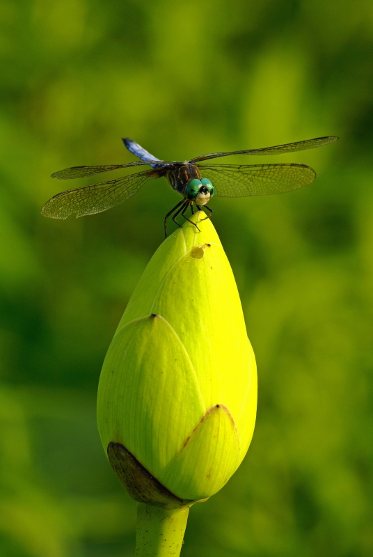 Dragonfly And Loutus