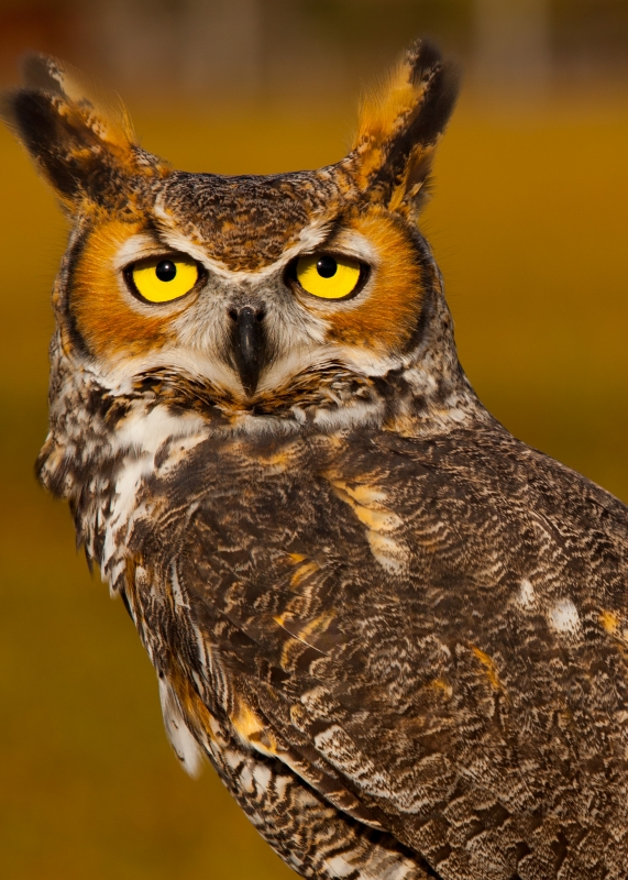 Gordon Horned Owl