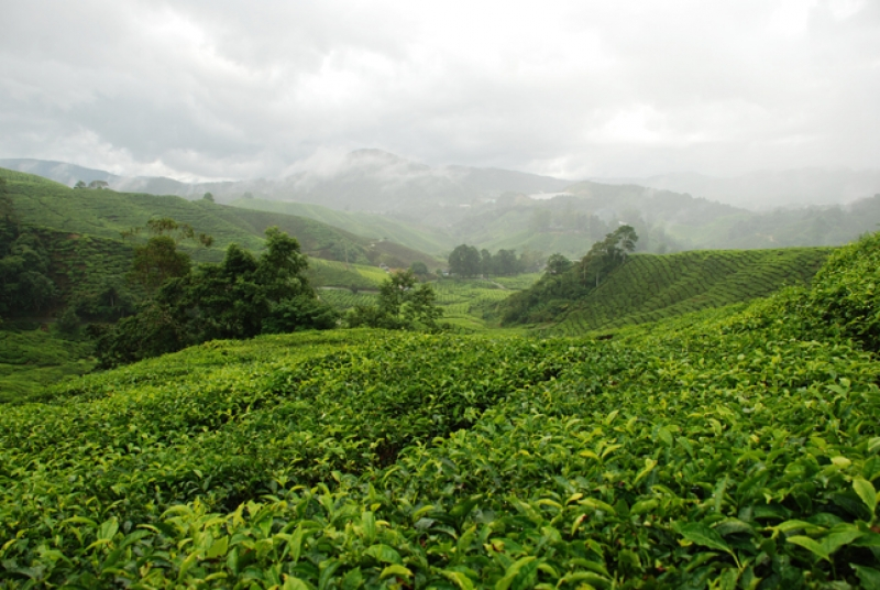 Tea Farm At Cameron Highland