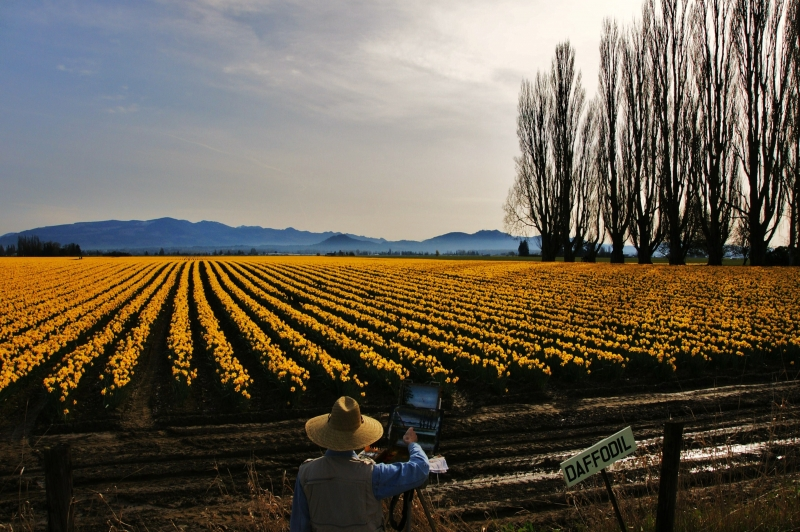 Daffodils In Bloom In Skagit Valley