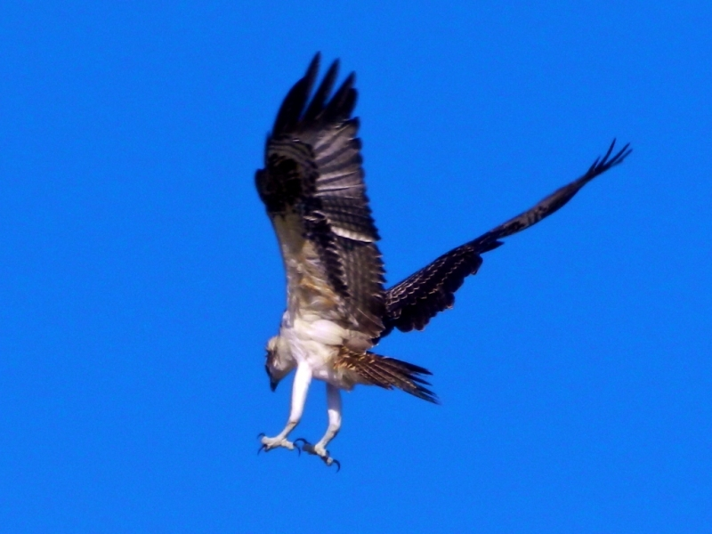 Juvinile Osprey Retruning To The Nest