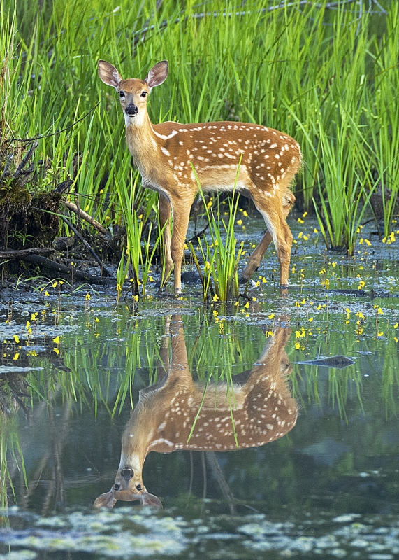 White-tail Fawn (me And My Reflection)