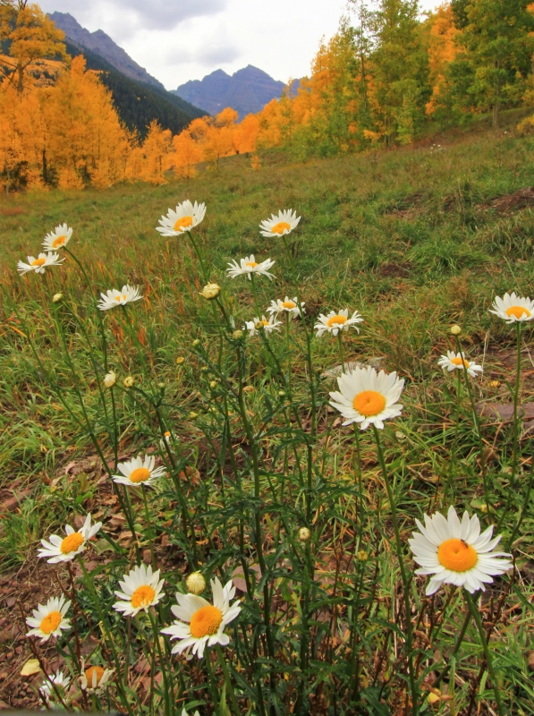 Flowers And Fall At Maroon Bells
