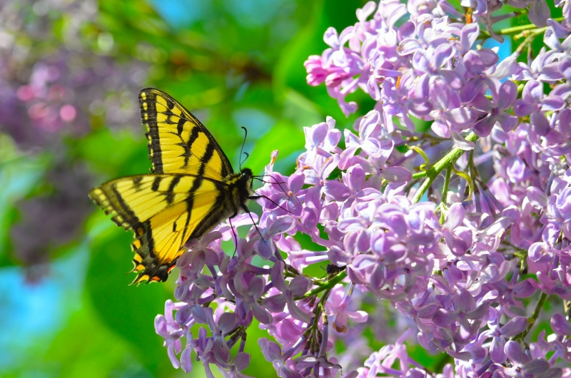 Criters On Our Lilac Bush
