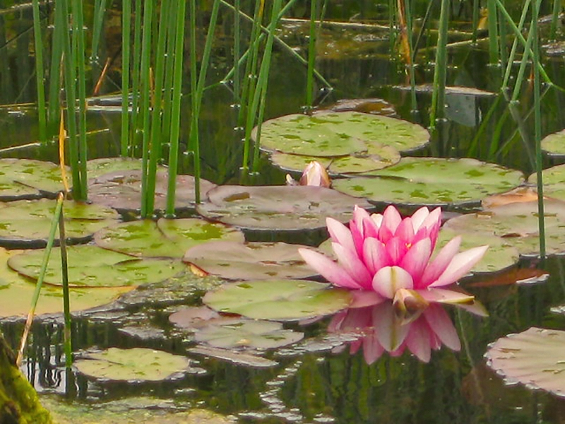 A Magical Lily Pond