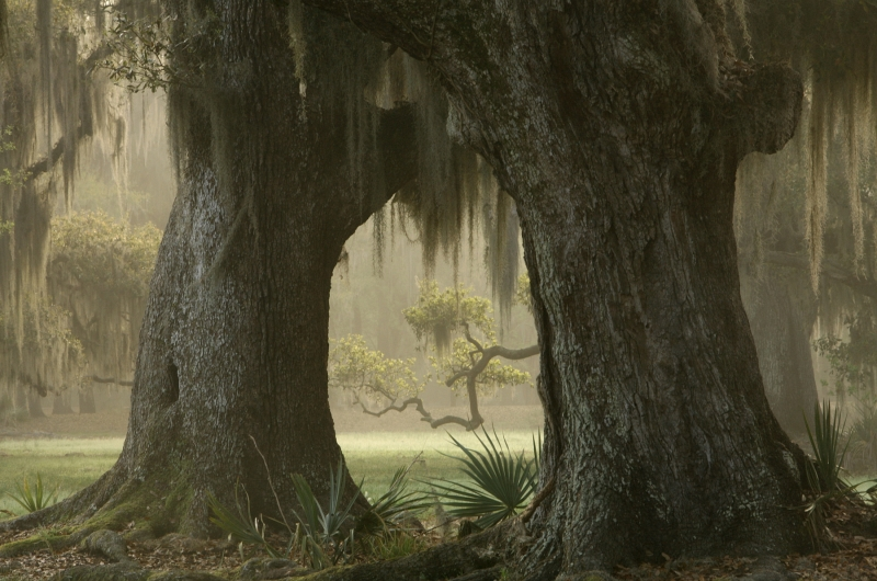 Fog Among The Oaks
