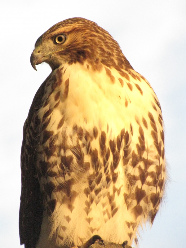 Glowing Red-tailed Hawk