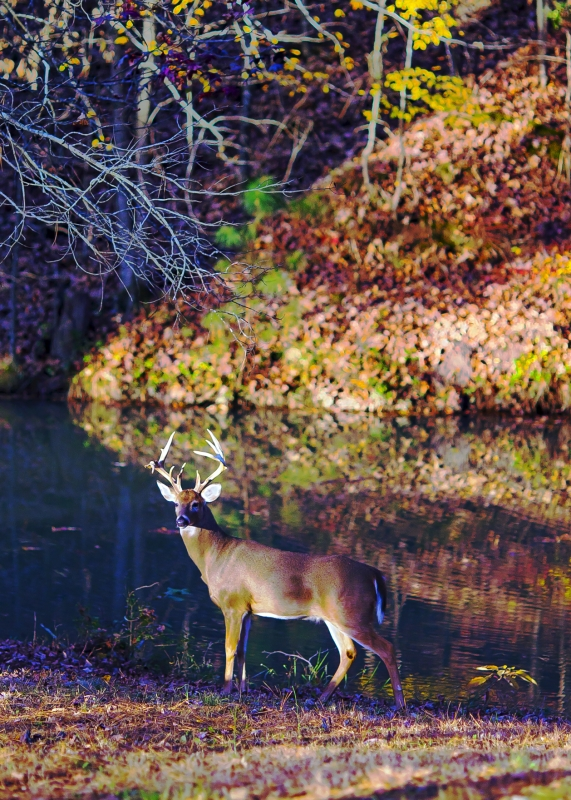 Wistful Buck