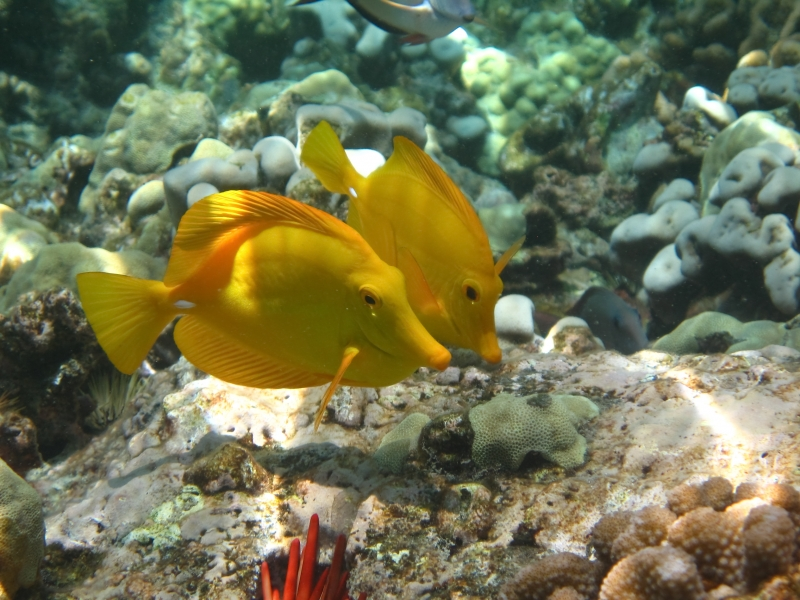 Yello Tangs – Captain Cook Memorial