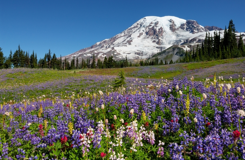 White Lupines Of Mount Rainier