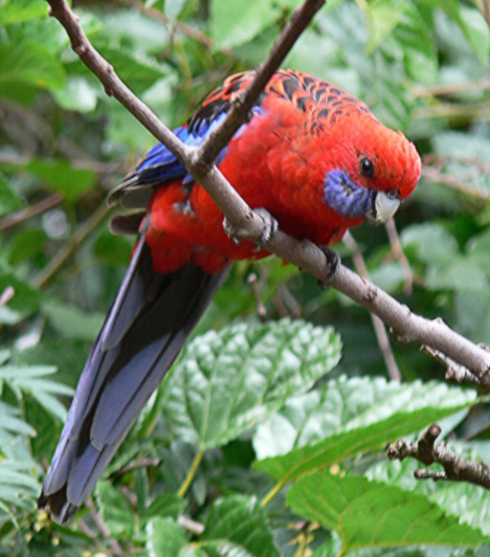 A Crimson Rosella In The Blue Mountains West Of Sydney, Nsw