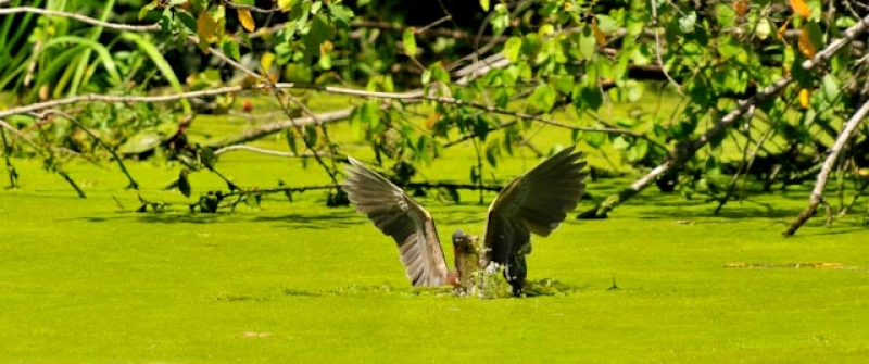 Green Heron Spears Lunch