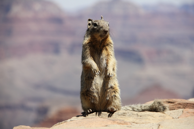 Squirrel In Grand Canyon