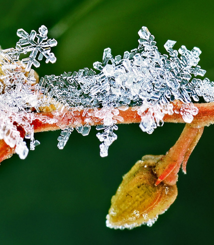 Snowflakes On Branch