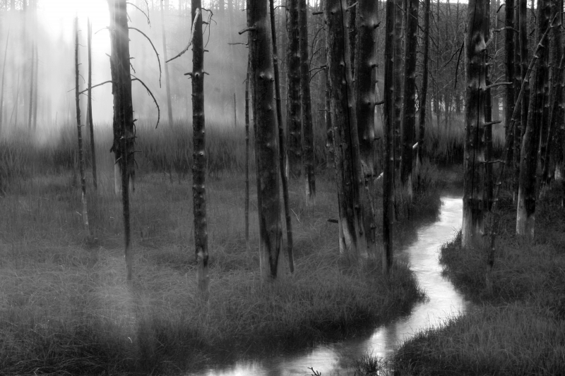 Misty Woods Of Yellowstone