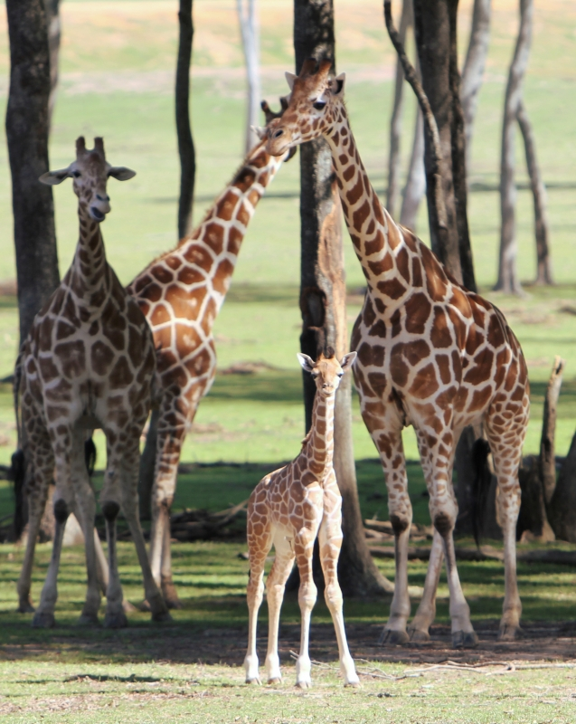 Giraffes And Calf