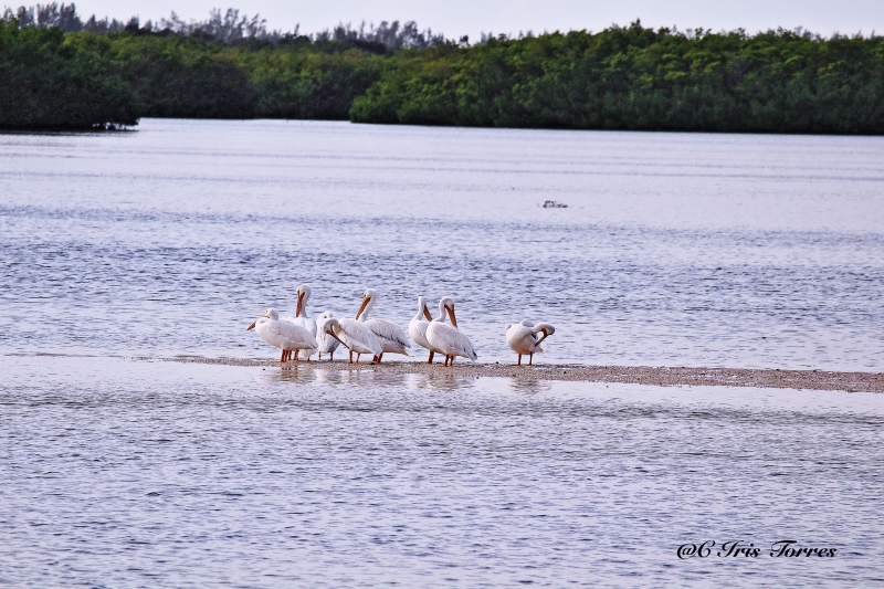 The White Pelicans