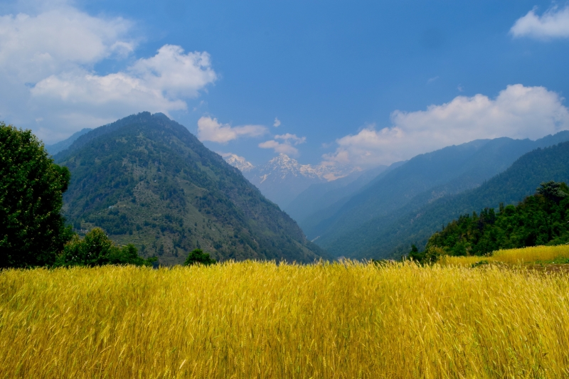 Barley Fields At Jaikhuni