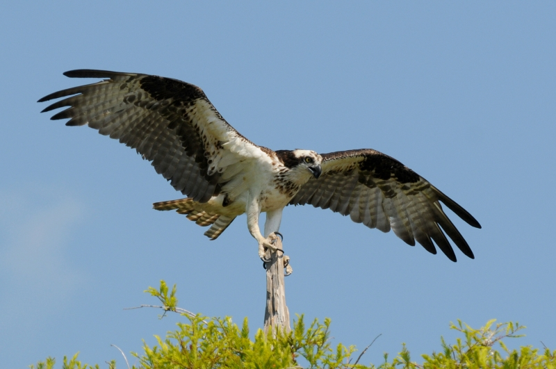 Osprey On Tip-toes