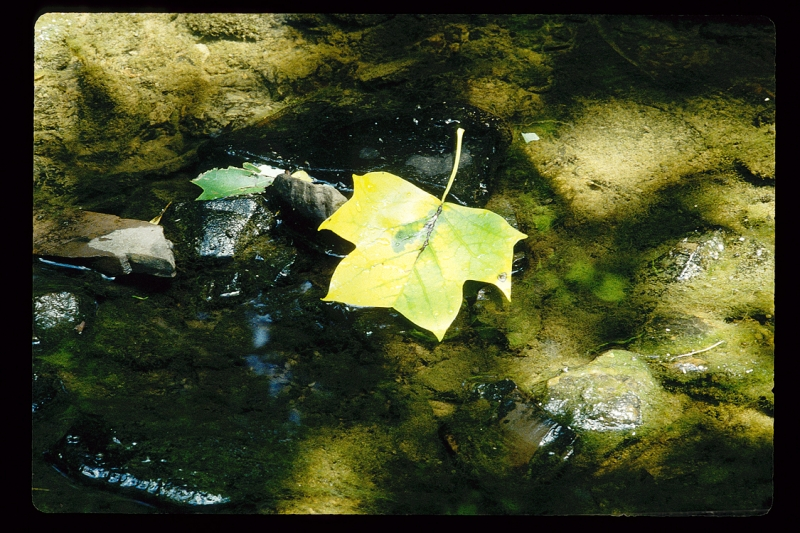Maple Leaf Floating In A Creek