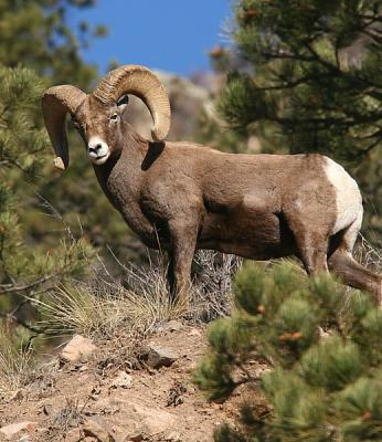 Bighorn Sheep Of The Big Thompson River Canyon