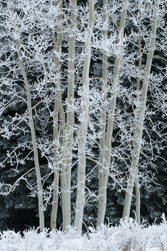 Frosted Aspens