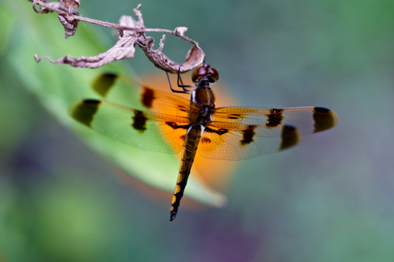Dragon Fly Hanging On