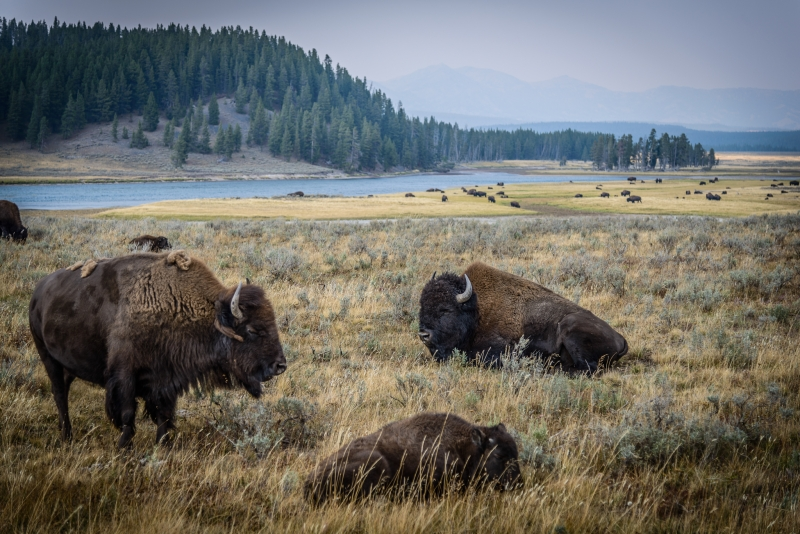 Bison Of Yellowstone