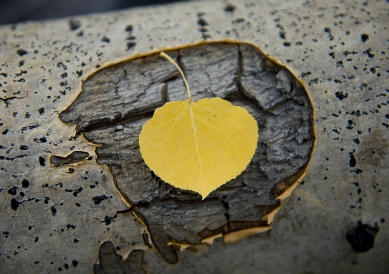Aspen Leaf On Deadfall