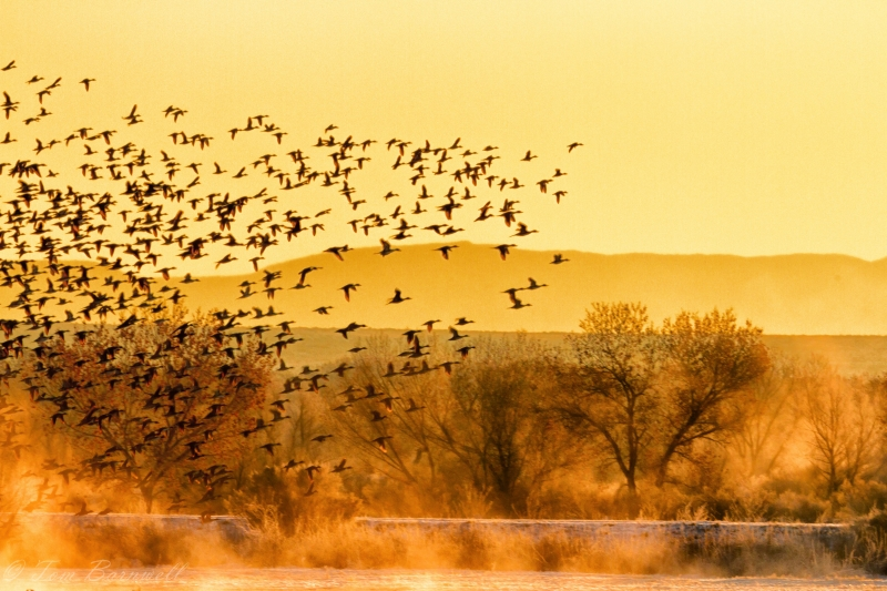 Canadian Geese At Dawn