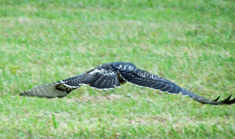 Juvenile Broadwing Hawk