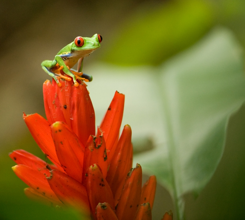 Red Eyed Tree Frog 3